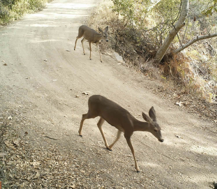 california mule deer