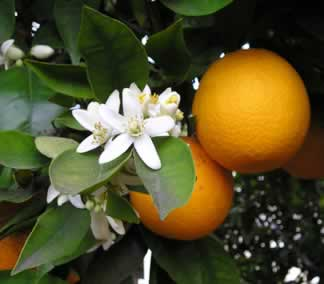 orange blossom and fruit