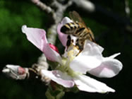 Honey bee pollination of apples