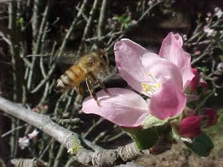 Honey bee pollinating apples