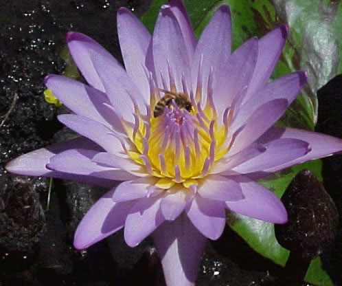 Honeybee pollinating water lilly